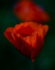 Rote Amazonen